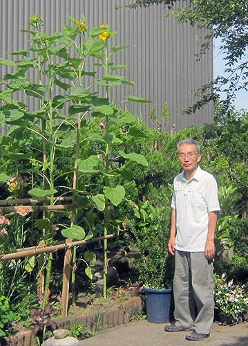 横浜の孫からもらった種で育てたひまわり。