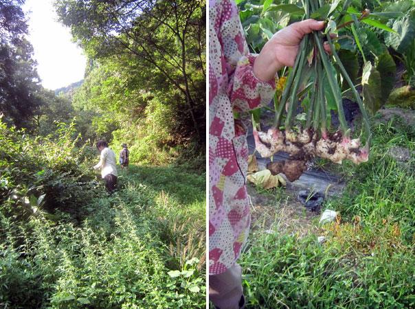 息子と三人で裏山へ出かけ笹寿司のための笹の葉取り。