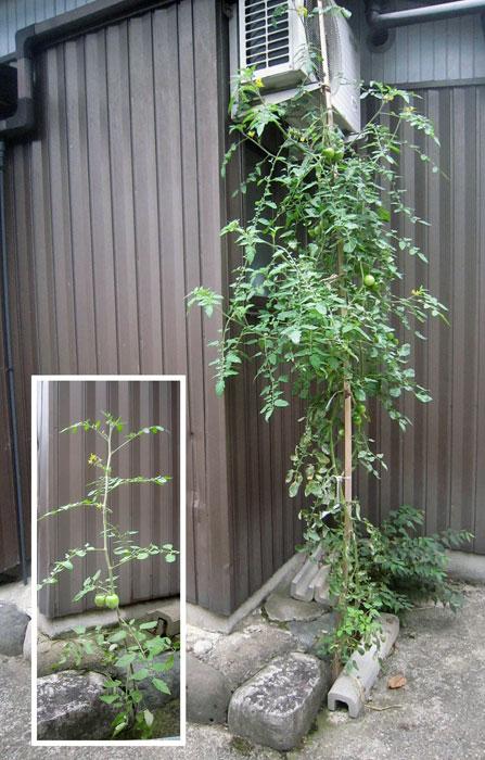 家のコンクリートの隙間で育つトマト。左は8月2日のトマト。右は今日のトマト。写真はだいたい同じ倍率。