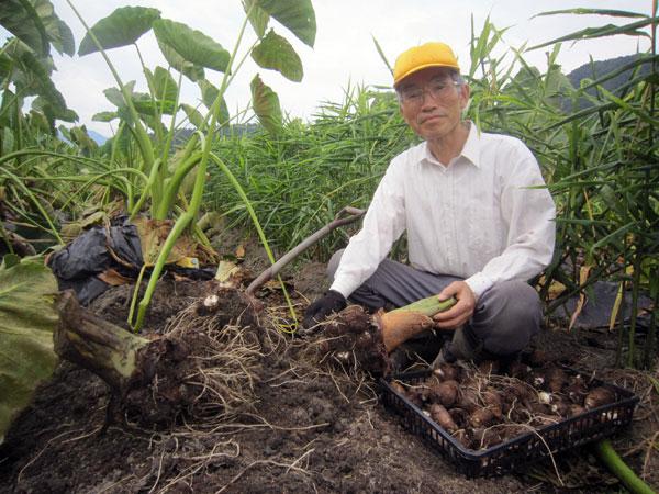 里芋の収穫。