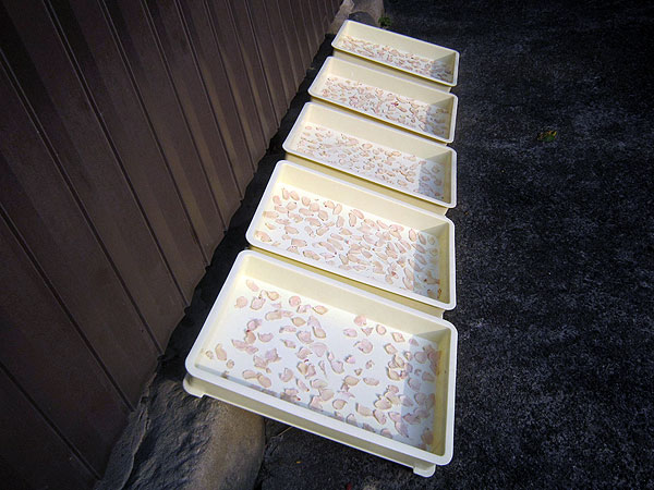 片瀬特産のショウガで健康によい『ウルトラショウガ(乾燥ショウガ)』づくり。少し日射しが弱いので、2、3日かかりそうだ。