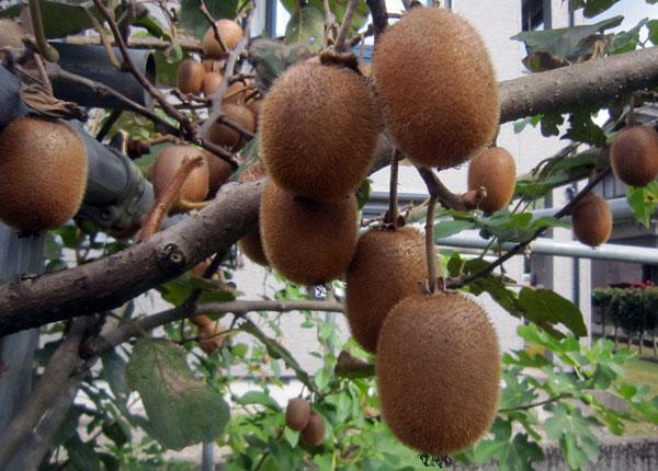 家庭菜園には、やや小ぶりだがたくさんのキウイが実っている。これはリンゴなどで追熟しなければ食べられないが、冬の楽しみだ。