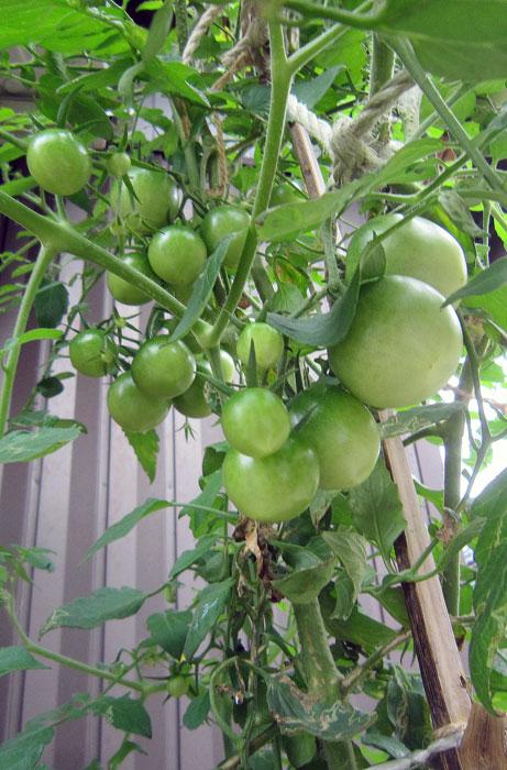 畑のトマトはとっくに枯れてしまったのに、コンクリートの隙間のトマトは、今誇らしげにたくさんの実をつけている。