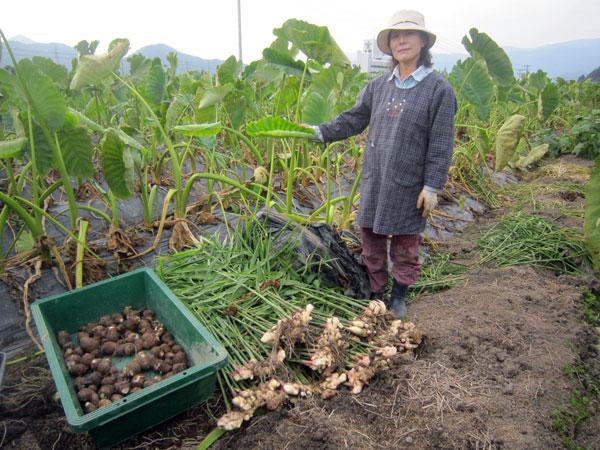 今年は里芋もショウガも素人の私には大豊作だったと思う。どちらも希望者には差し上げたい。