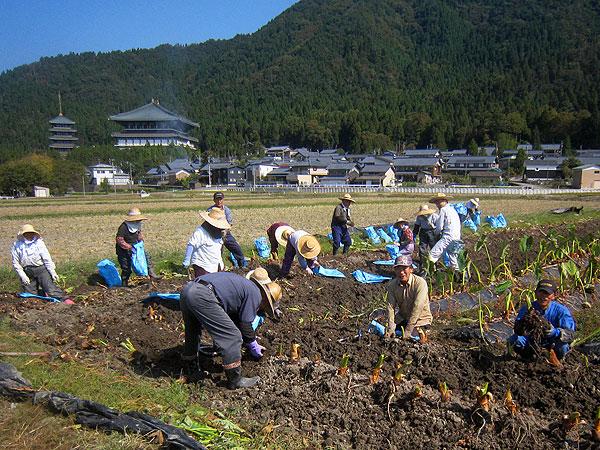 快晴の空のもと、みんなで組合の里芋収穫作業。和気藹々のうちに作業が進む。