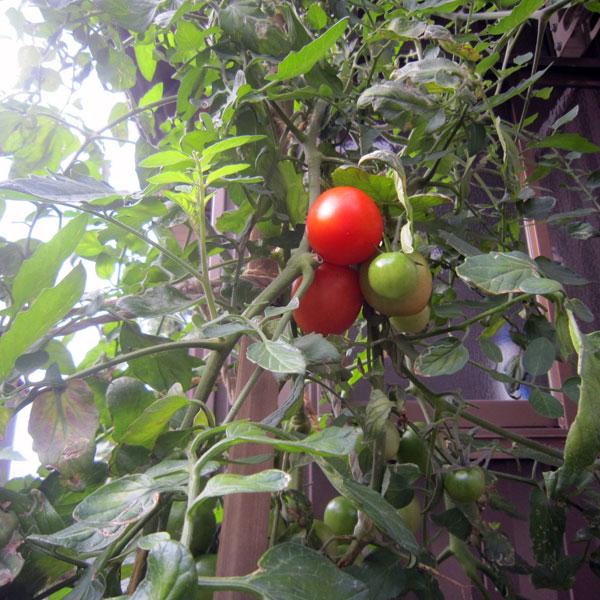 基礎の石垣の間から伸びたトマトが真っ赤な実を付けた。