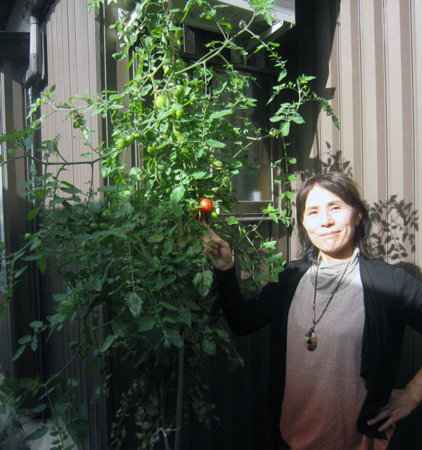 今や人間の背丈を遙かに超える大きさに育ったトマト。石垣の隙間で育っているのだ。