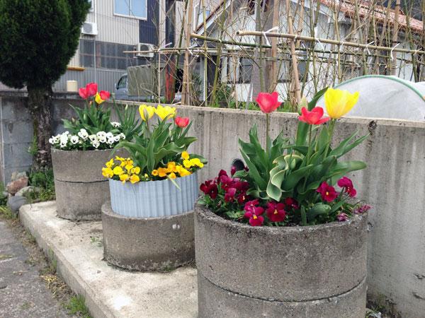 昨年歩道の脇の土管に植えたチュウリップとパンジーがきれいな花を咲かせてくれた。道行く人に……。