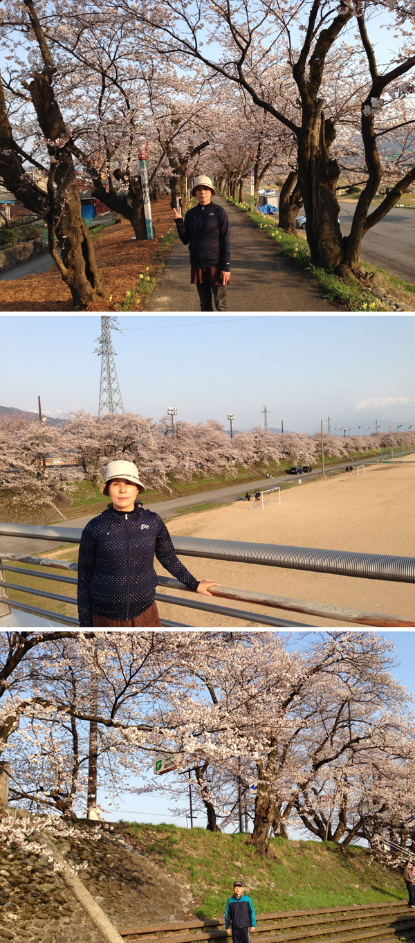 まだつぼみも残っているが、満開に近づいた弁天桜。
