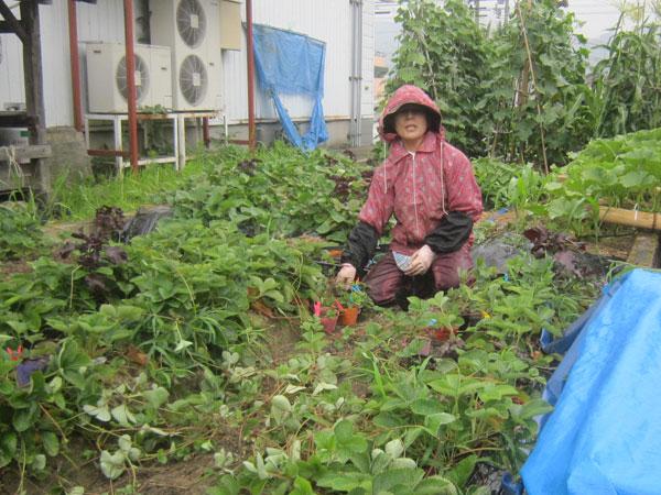 イチゴの苗作り。