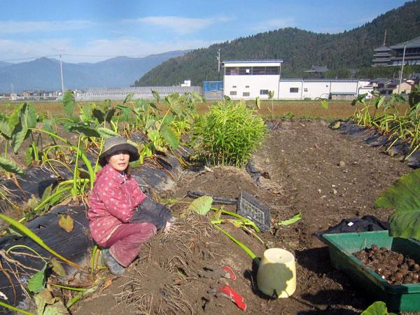 青皿の下、ラジオを聞きながら、のんびりと里芋の収穫。