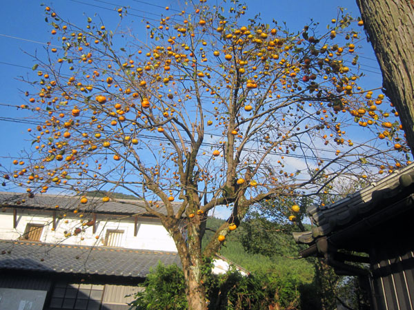 たくさん実った我が家の柿の木