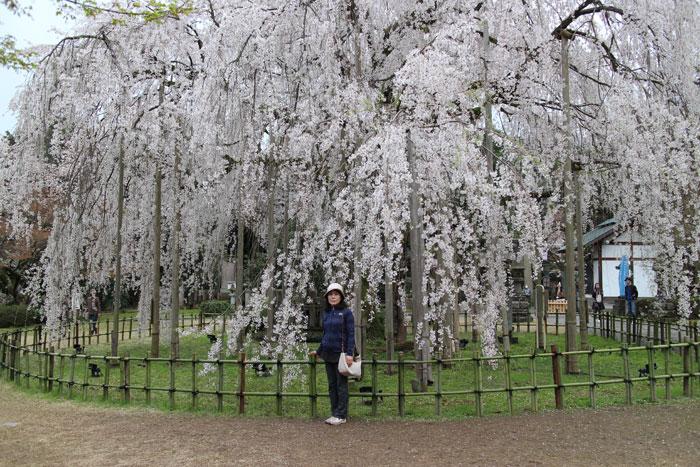 足羽神社のしだれ桜。見応えがあった。