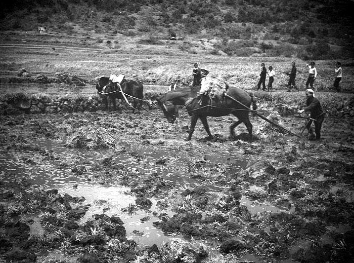 馬を使って代掻き。馬は貴重な労働力だった。
