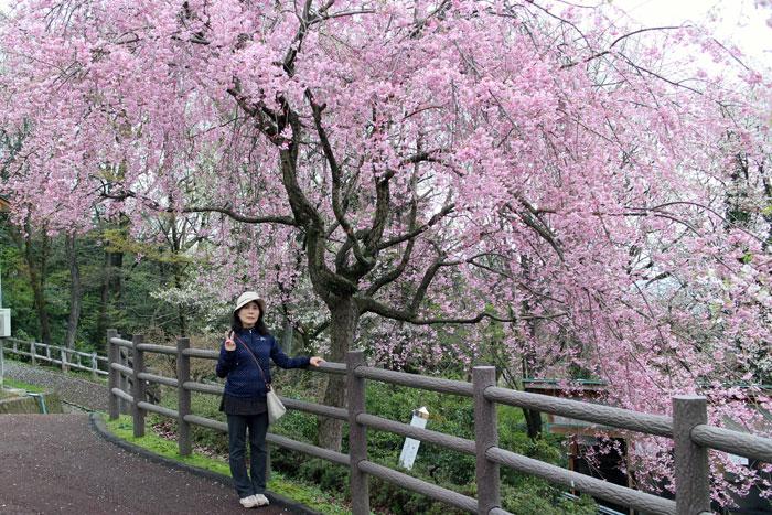 足羽山動物園の中にあるしだれ桜。ピンク色が鮮やかで今年も出会えたという感じであった。