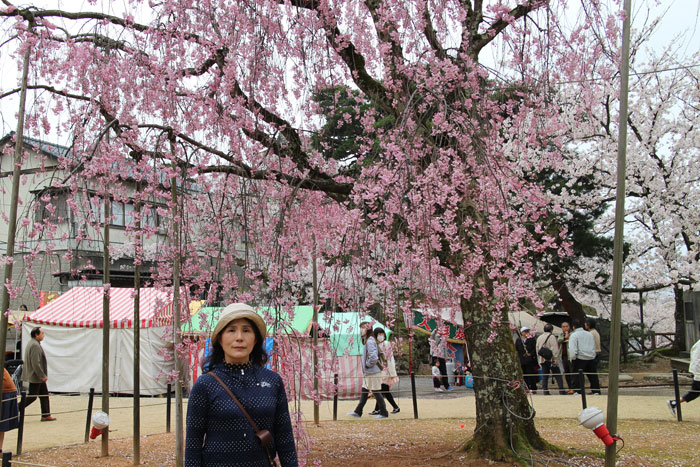 丸岡城公園のしだれ桜。一本だけ囲ってあった。