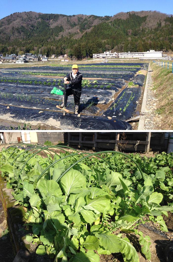 上:里芋の植え付け,下:我が家の「勝山水菜」。
