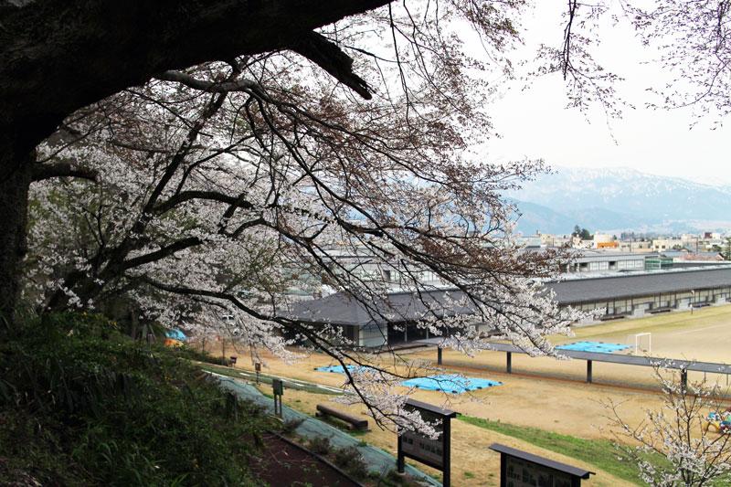 桜の向こうに小学校。30数年前に8年間勤務した大野高校の跡地でもある。時は移っても桜は昔のままである。