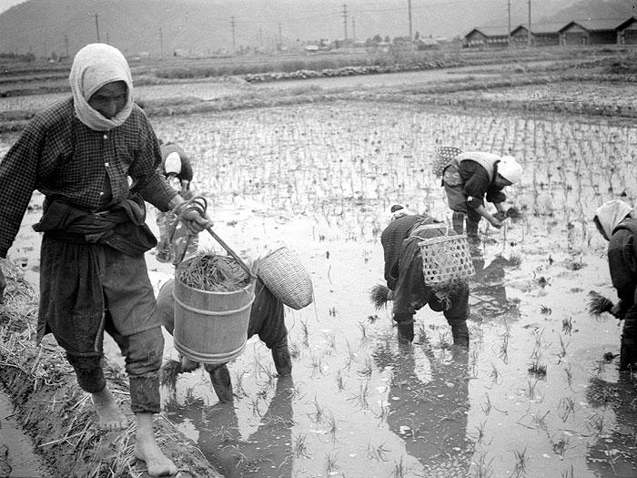 田植え風景。男性が田植えをする女性に苗を運んだ。
