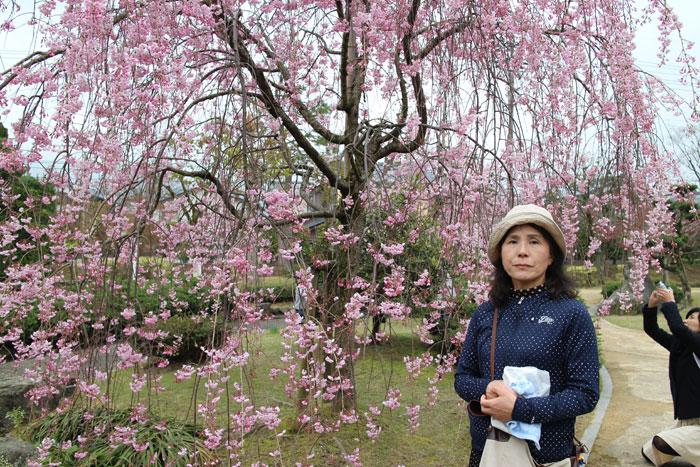 丸岡城公園の庭園の周囲にあったしだれ桜。