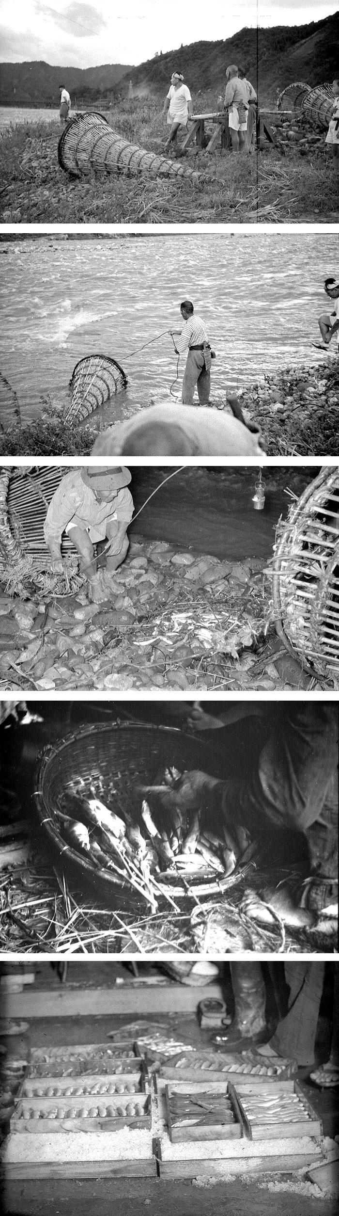 九頭竜川には、投網やヤナで捕るほどたくさんの鮎が生息していた。