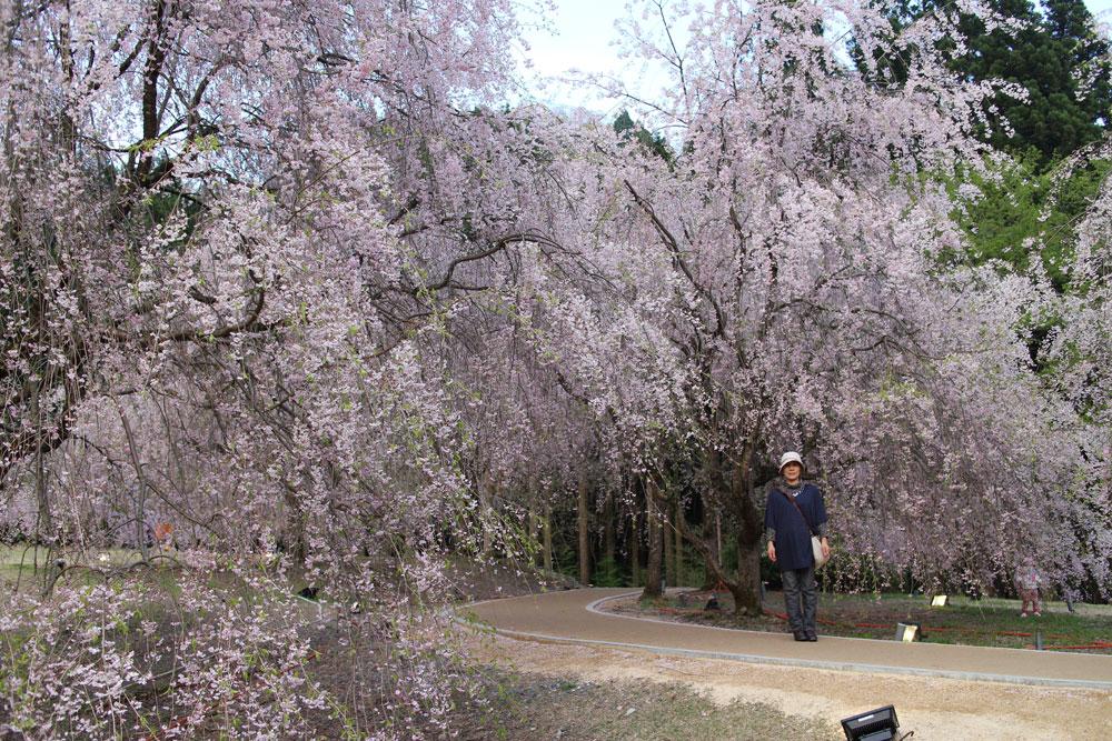 競い合うように咲き誇る遊歩道の周囲の「しだれ桜」
