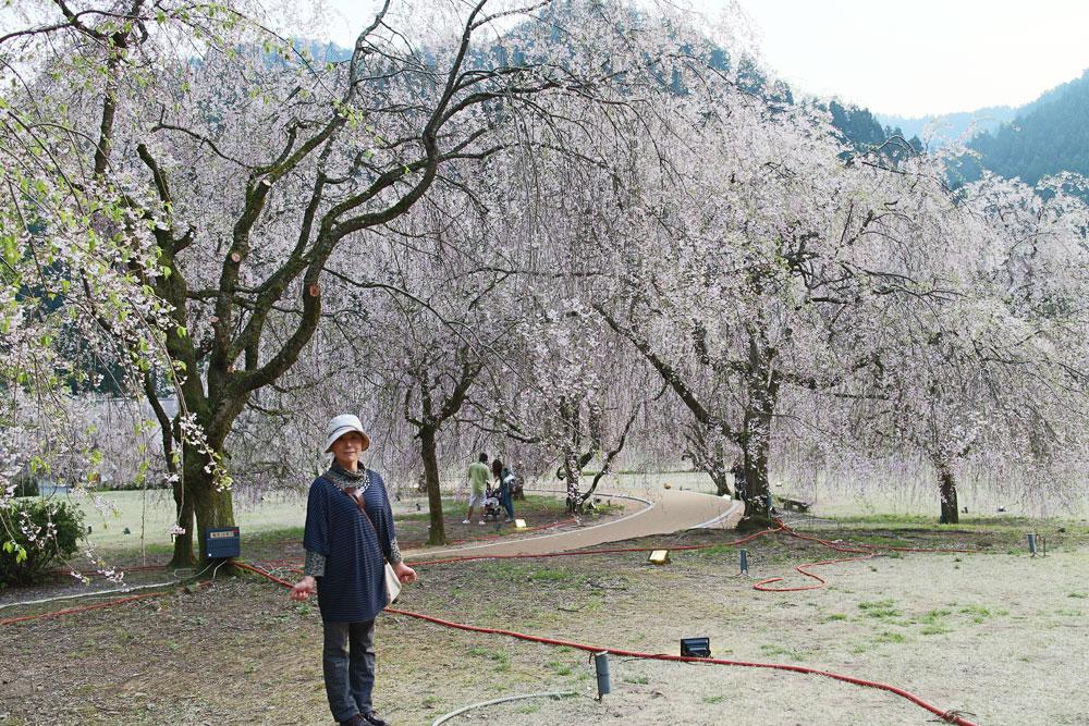 ライトアップ直後の「しだれ桜」
