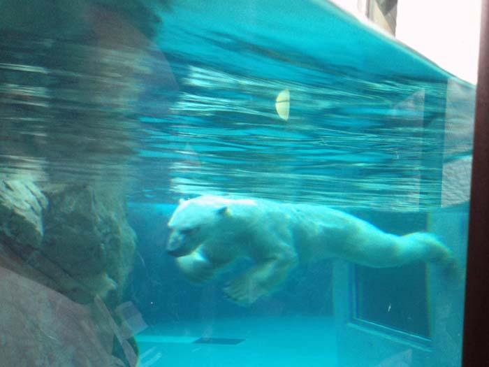 水中を泳ぎ回るシロクマ