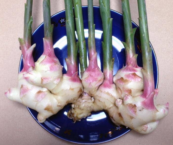 初代種より収穫した新ショウガ。みずみずしくてとても柔らかで美味しかった。